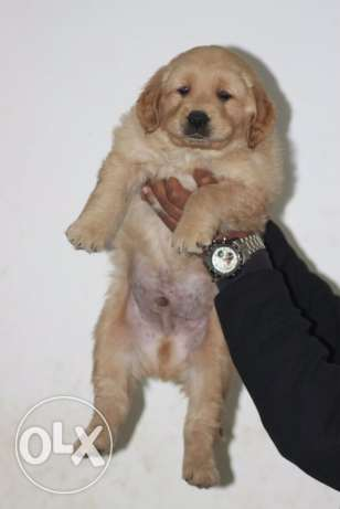 for sale puppies golden retriever
