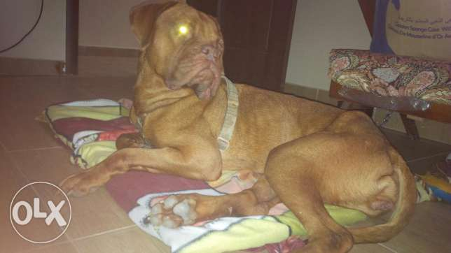french mastiff for sale وسط القاهرة -  4