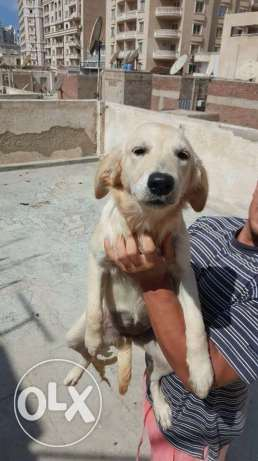 Golden retriever female for sale in Alexandria الإسكندرية -  4