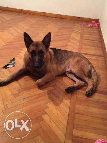 cezer german shepherd الإسكندرية -  4