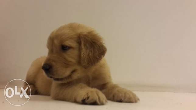 golden retriever puppies وسط القاهرة -  1