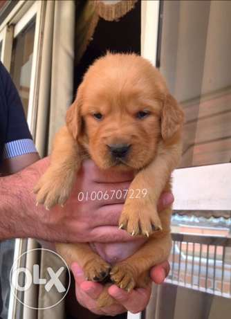 Golden Retriever Puppies Vaccinated And Dewormed