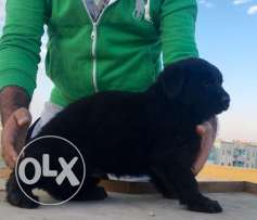FOR SALE super dog Royal black