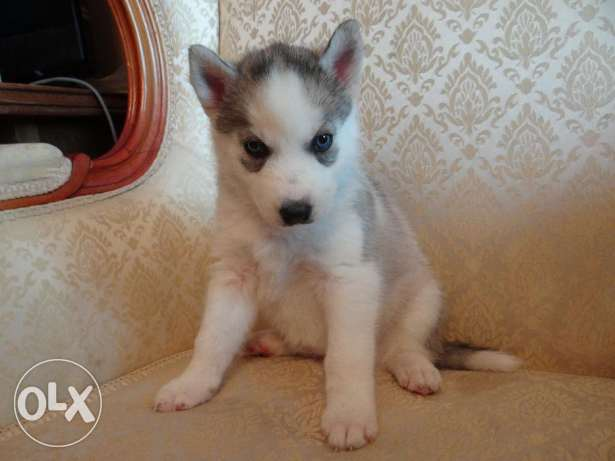 PURE Light Brown Husky Female Puppies 45 DAYS!!
