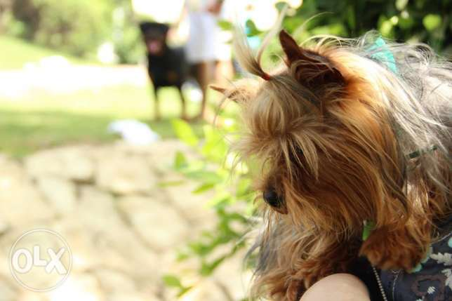 Yorkshire terrier male for sale (with pedigree) ADULT