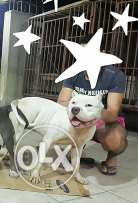 Kofo the best XL Bully in Egypt.. grandson of Boogi
