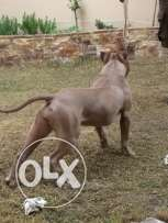 for sale American bully
