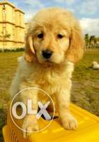 For sale puppy golden retriever withe color female