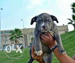 Amrican bully puppies for sale
