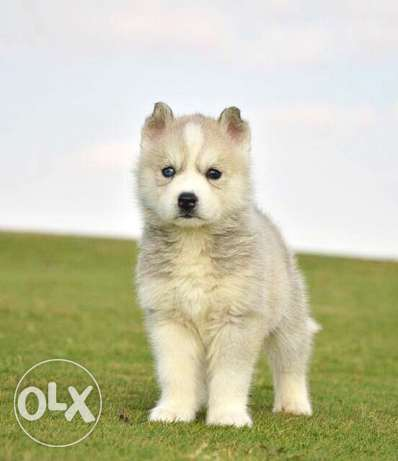 siberian husky puppy available for sale