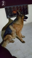 Male German Shepherd for mating ذكر جيرمن للزواج