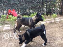 American Akita puppies for sale