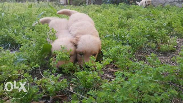 For sale puppies golden retriever 34 days
