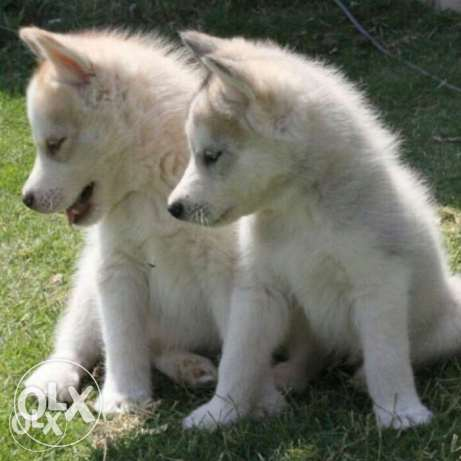 puppies husky for sale boys & girls •blue eyes
