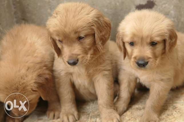 Pure American Golden Retriever puppies