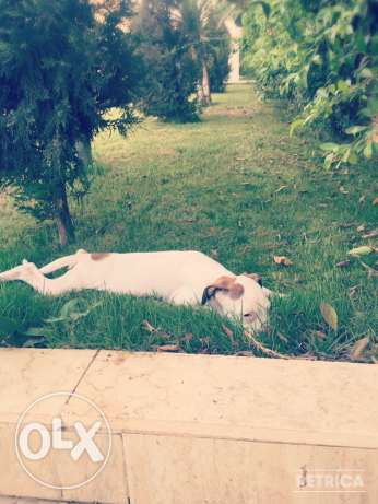 For Sale Beautiful Pure White Boxer Puppie مصر الجديدة -  8