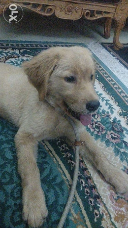 Golden retriever female جولدن نتاية