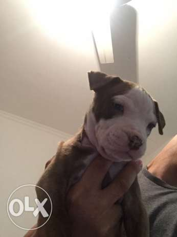 pitbull puppies for sale الغردقة -  6