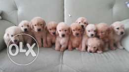 100 Golden retriever puppy pure
