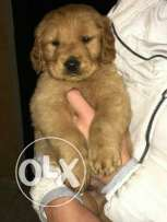 new litter golden puppies