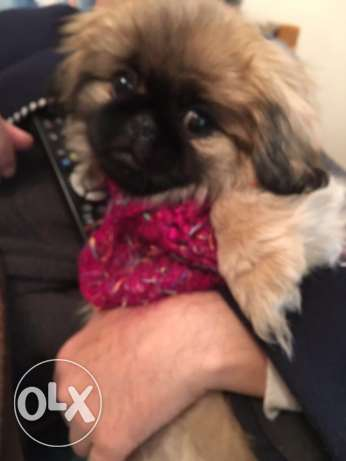 female Pekingese puppy شيراتون -  2