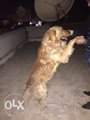 golden retriever male for sale or mating