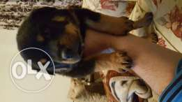 Rott for sale 45