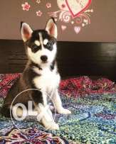 Last Female Husky Puppy For sale