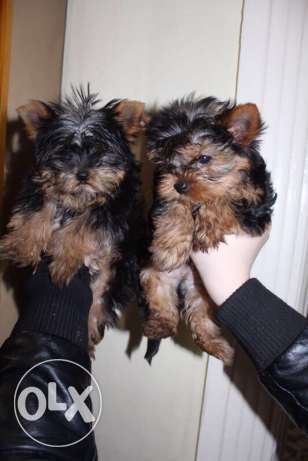 puppies mini Yorkshire imported