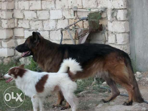 German shiperd dog male سيدي بشر -  3
