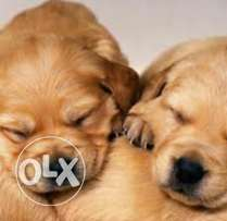 Chocolate golden retriever puppies