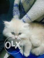 Cat for sale 45 يوم