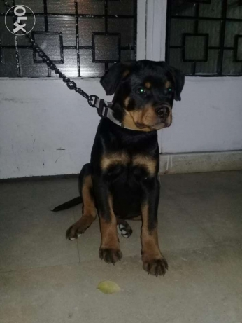 Rottweiler 4 month pure .with paper. male