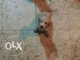 For sale golden retriever puppies