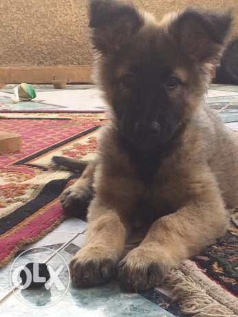 German shepherd طوخ -  5