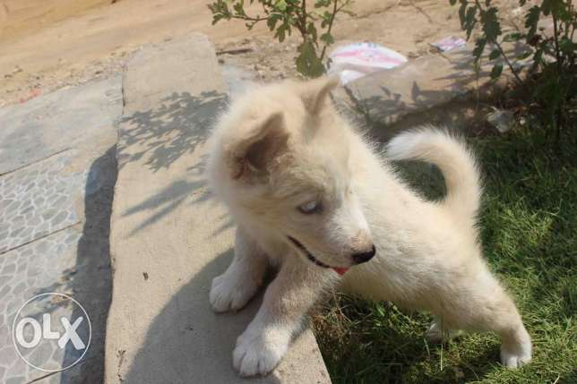 siberian husky puppie for sale التجمع الأول -  4