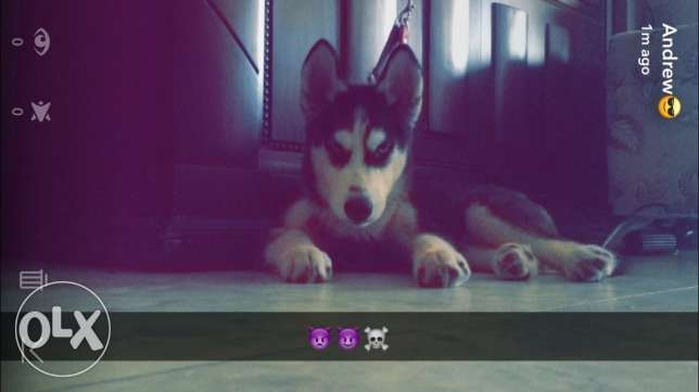 husky dog pure Blue eyes for sale garo رمسيس و امتداد رمسيس -  3