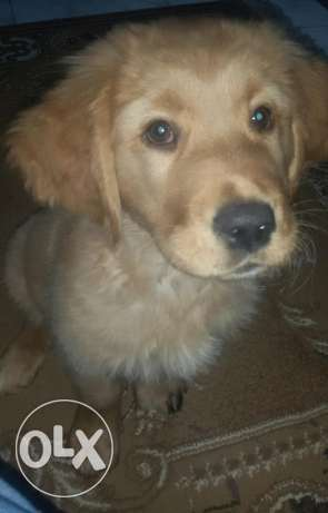 golden retriever (male)