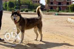 Imported Male Husky for mating