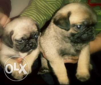 Male & female bug puppies for sale