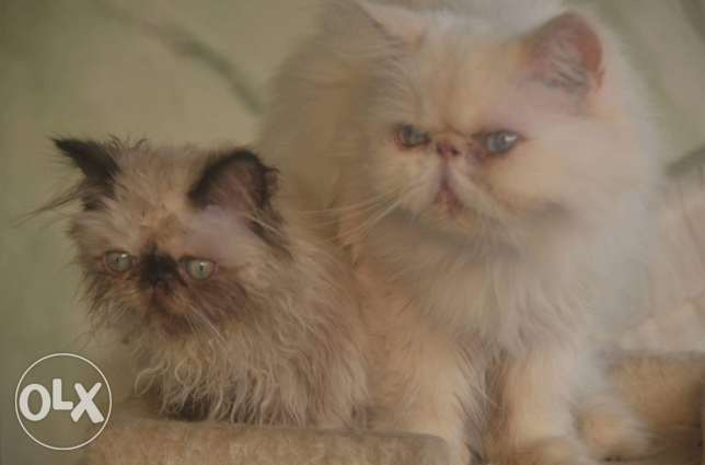 Himalayan cats full pure pickey face مدينة نصر -  4