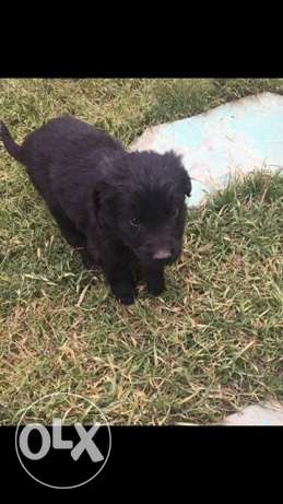5 Black flat Coated Retriever