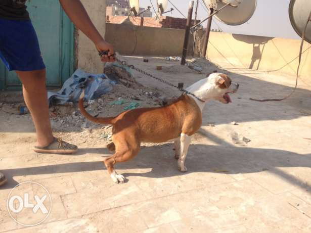 female pitbull for sale شيراتون -  1