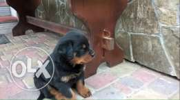 For sale best puppies Rottweiler imported with all documents fci