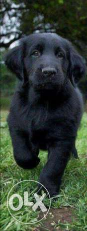 black retriever puppy 60days for sale