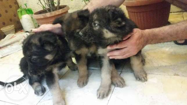 German puppy جيرمان شيبرد جراوي