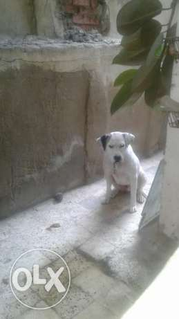 Female pitbull 8 months مصر الجديدة -  2