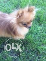 Pomeranian Boo For The FIRST Time In Egypt Impoted With All Documents