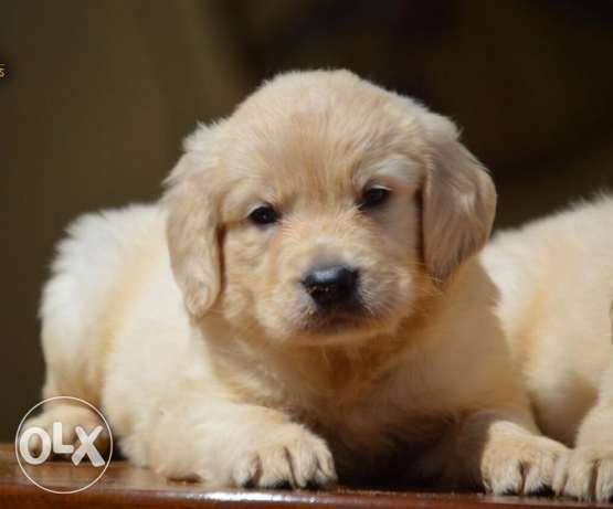 pure golden retriever puppies for sale