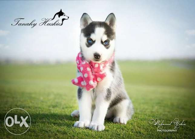 Husky puppies for sale pure breed مصر الجديدة -  8